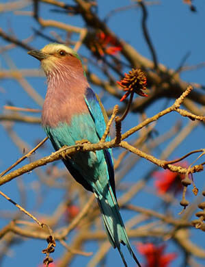 mopane_bird