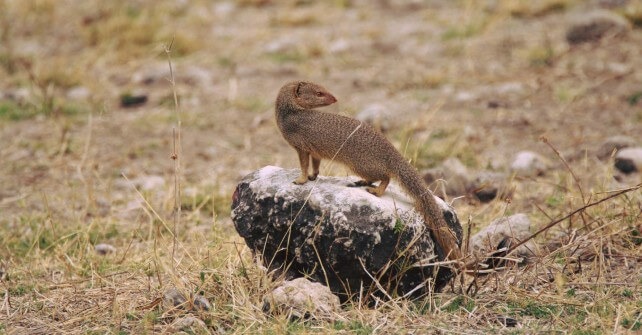 Slender Mongoose Facts