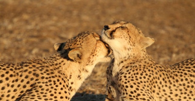 We are relocating two cheetah brothers to Mapesu Private Game Reserve!