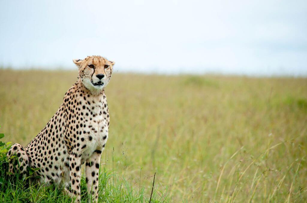 cheetah-translocation-mapesu-mopane