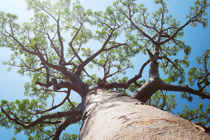 trees in south africa | mopane bush lodge