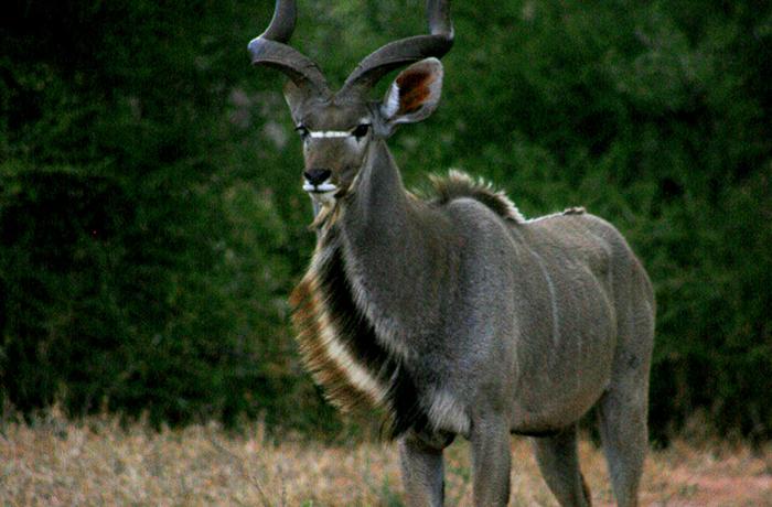 animals in south africa | mopane bush lodge