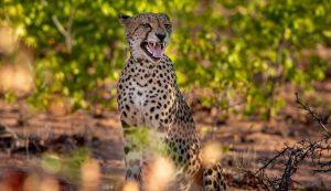 Cheetah at Mopane Bush Lodge